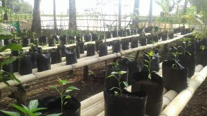 tanaman cabe adalah tanaman yang sangat mudah di budidayakan, karna kami pemula yang ingin belajar untuk mengembangkan inovasi di bidang pertanian khusus nya di kegiatan POKJA III Hati nya PKK,